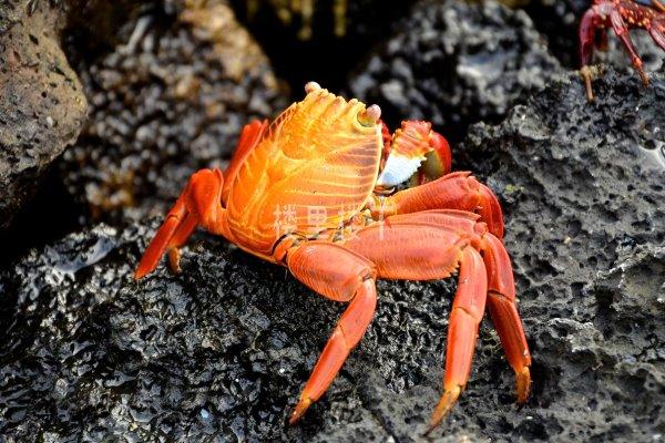 怀孕吃螃蟹